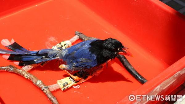 ▲▼台北野鳥救傷中心,台灣藍鵲,藍鵲洗澡。(圖/記者戴榕萱攝)