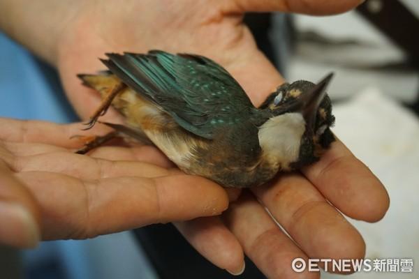 ▲台北野鳥救傷中心,台北鳥會,野鳥,鳥類,鳥,傷鳥。(圖/記者蔡紹堅攝)