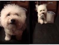 ▲比熊犬「Oreo」會咬衛生紙給媽媽。(圖/我是不能吃的Oreo提供,請勿隨意翻拍,以免侵權。)