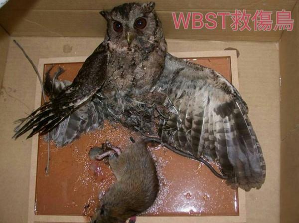 ▲台北野鳥,台北鳥會,野鳥,黏鼠板。(圖/台北鳥會救傷中心)