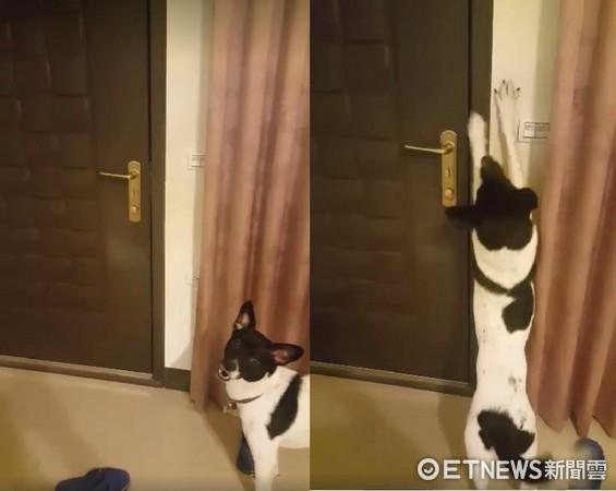 ▲狗狗「旺來」自己學會開門,奔出急著找爸爸。(圖/網友林慧雯提供,請勿隨意翻拍,以免侵權。)