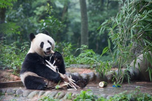 這隻大熊貓叫汪佳,離我們很近,一口一口嚼著竹筍的樣子真是看多久都不會膩。