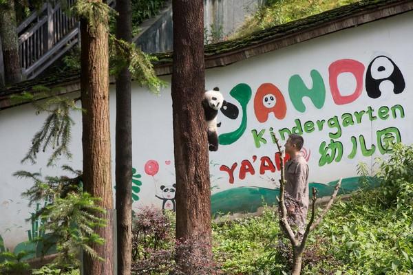 誰能抵擋小熊貓魅力?