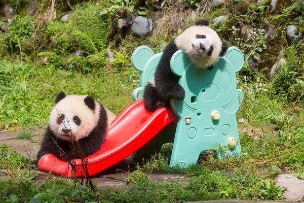 被Ponda Power降伏了嗎?快到四川看熊貓吧。