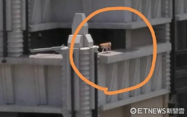 ▲柴柴在大樓圍牆邊遊走,險象環生。(圖/網友康小姐提供,請勿隨意翻拍,以免侵權。)