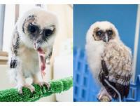 ▲飛行訓練30分!褐林鴞寶寶練「猛禽氣勢」,來回飛10多趟(圖/臺北市立動物園提供)