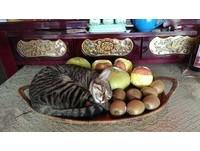貓咪自願當供品。(圖/飼主陳蘭方提供)