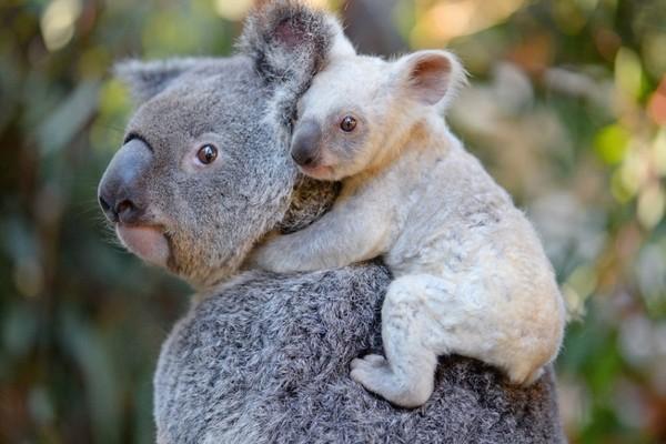 超罕见「白色无尾熊宝宝」亮相 澳洲动物园求创意命名
