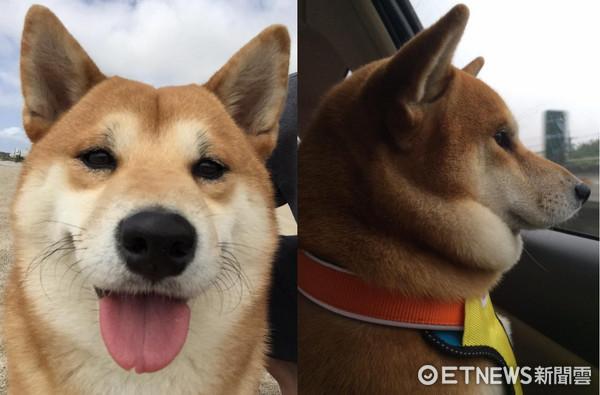 桃园网友宋威日前分享一张可爱的照片,内容是家里的柴犬money坐直挺