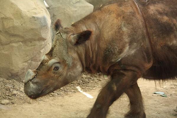 十大最濒危的稀有动物之一的苏门答腊犀牛