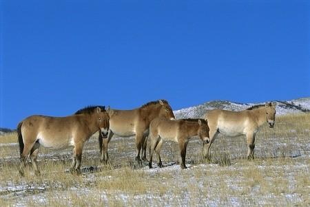 ▼濒临灭绝的国家一级保育动物「普氏野马」是世界上仅存的野生马.