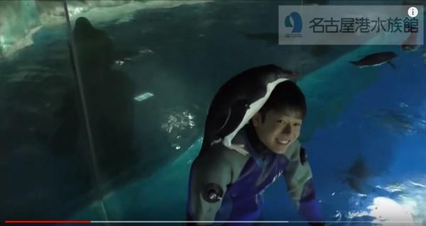 ▲企鵝找到機會就爬上住吉優哉肩膀。(圖/翻攝自名古屋港水族館 YouTube)