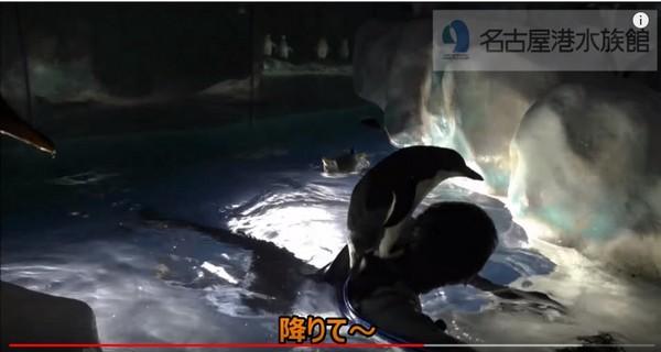 ▲企鵝就愛粘住吉優哉的肩膀,只好請牠「下去啦。」(圖/翻攝自名古屋港水族館 YouTube)