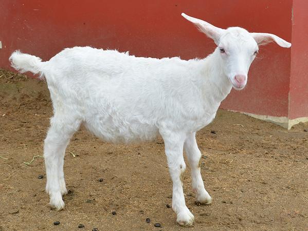母山羊 15只唯一公绵羊自然交配 生出「白卷毛 长耳」