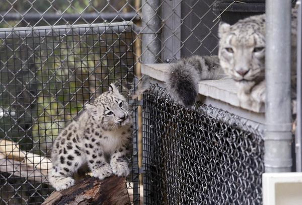 综合外媒报导,这只可爱的雪豹宝宝名叫aibek,在吉尔吉斯语中代表