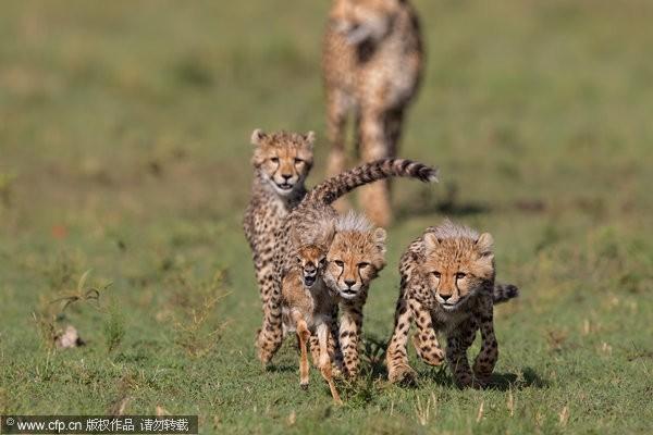 小猎豹「和食物玩」 妈妈看不下去,痛宰羚羊!   et云