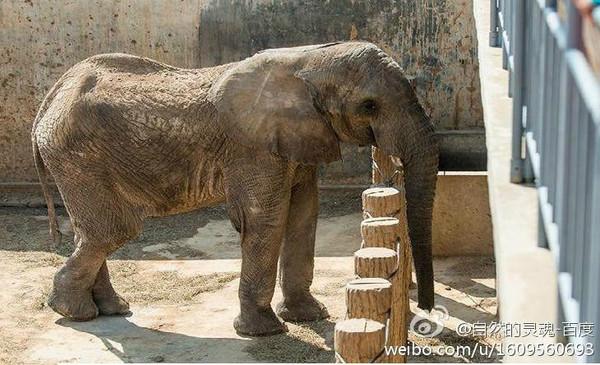 山东动物园大象皮包骨 网友质疑遭虐待