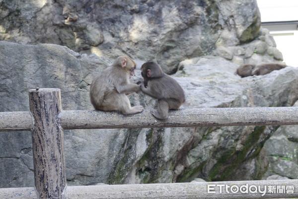 高崎山自然动物园的猴子超萌.(图/记者蔡玟君摄,以下皆同)