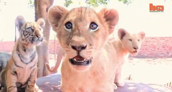 有大将之风,是5只小家伙的「大姊头」;3只小狮子分别是「德拉诺」
