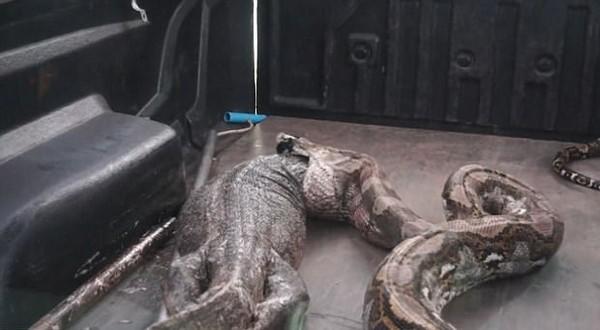 水泥管挖出大蟒蛇,运送途中晕车.吐出15公斤巨蜥