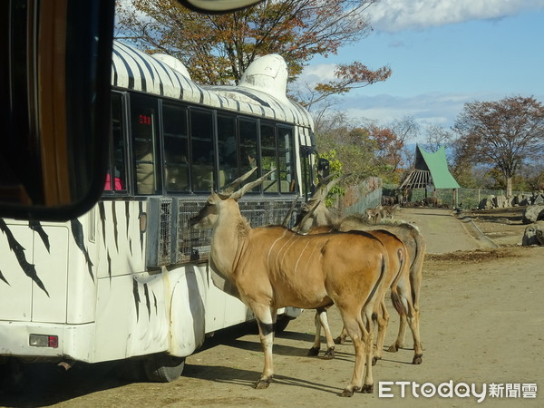 群马野生动物园必搭狮子车体验餵食秀 舌头都伸进车内