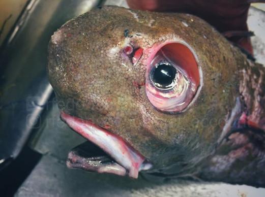俄渔夫深探北极海 竟捕捉到「深海异形鱼」眼睛超悲催