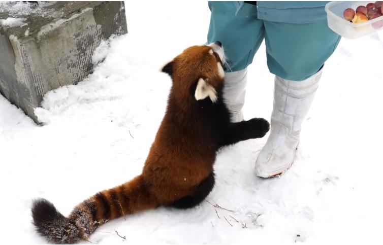 ▼小熊猫餵食秀,讨抱抱萌样融化人.(图/翻摄自推特,札幌圆山动物园)