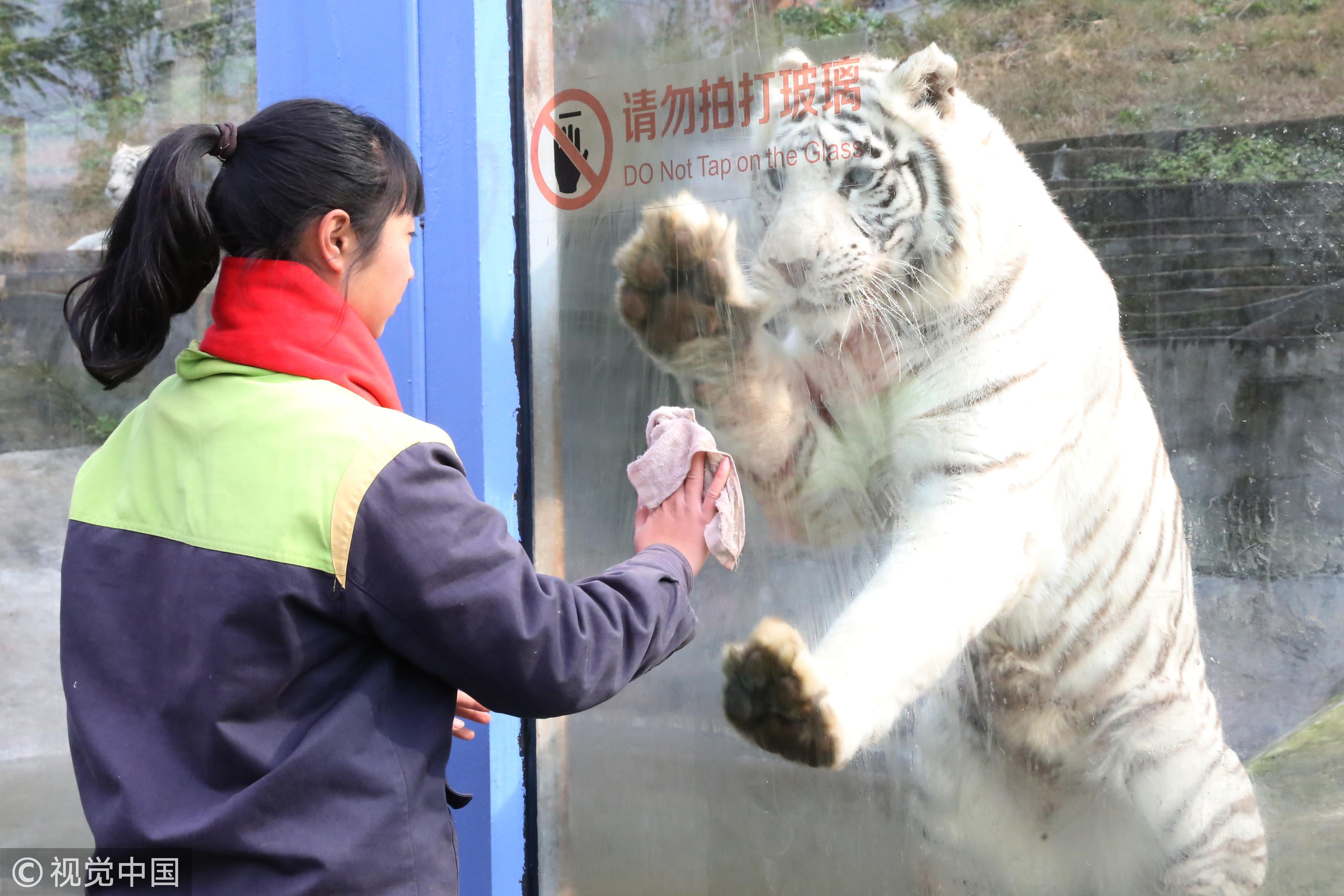 ▼重庆野生动物园白虎.(图/视觉中国)