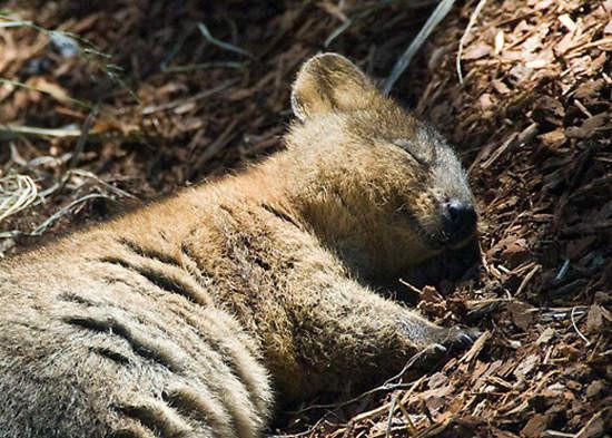 全球看起来最幸福的动物 「短尾矮袋鼠」无时无刻微笑