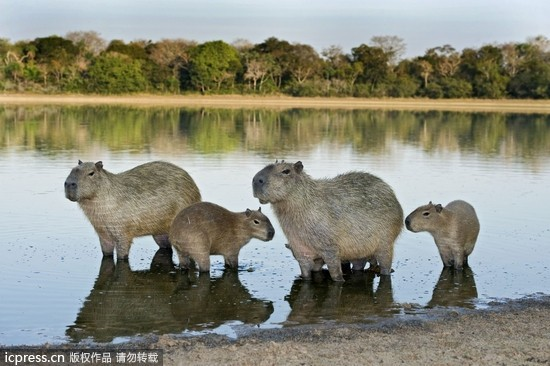 tips:点击照片可看下一张哦! 【动物温馨全家福】水豚一家.