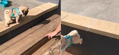 有樓梯偏偏不走 巴哥犬從高處跳下:哥就是喜歡挑戰難的~
