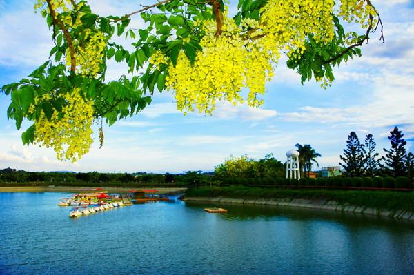金黄色的阿勃勒花盛开於虎头埤风景区池畔.