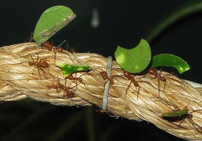 切叶蚁图片