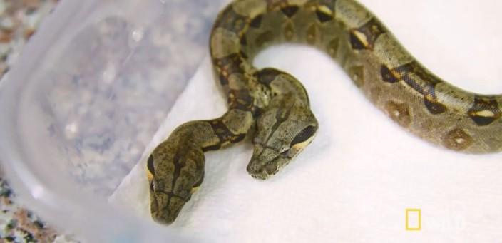 连体双头蛇共食维生 兽医大惊:它们还有「蛇电感应」!