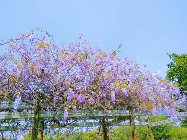 绵延10多公尺,每到紫藤花盛开季节,可说是附近居民和摄影玩家的一大