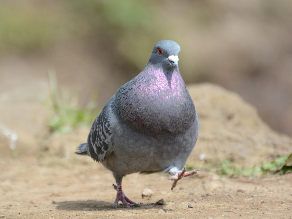 鸽子「球上两根美腿」超可爱,走路就像大佬出巡