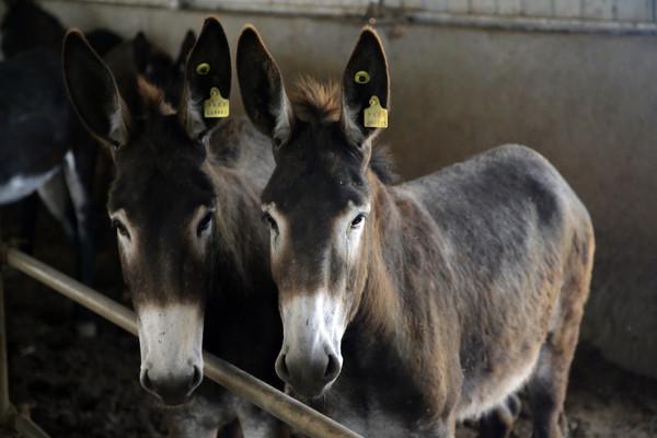 動保專家說,驢子可能在5年內滅絕。(圖/達志影像/美聯社) 國際中心/綜合報導 拜宮鬥夯劇《後宮甄嬛傳》推波助瀾所賜,中藥阿膠近年在中國大陸銷售火紅。 市場對藥材的主要成分驢皮需求孔急,在不應求的情況下 ,生產商轉向非洲求援,讓未本在非洲擔任農人 好幫手的驢子數量大跌。 關注組織警告:如果情況持續惡化,驢子可能在5年內滅絕。 阿膠是以驢皮熬煮而成,大陸坊間近年吹捧它美容養顏、 益壽強身的功效,各式各樣的相關中藥製品應運而生, 阿膠大賣導致驢價飆升,大陸驢子數量在不到10年內 數量減半。為了滿足需求,大陸