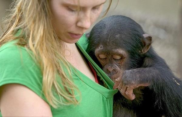 灵大咪咪_两岁黑猩猩对咪咪很好奇!