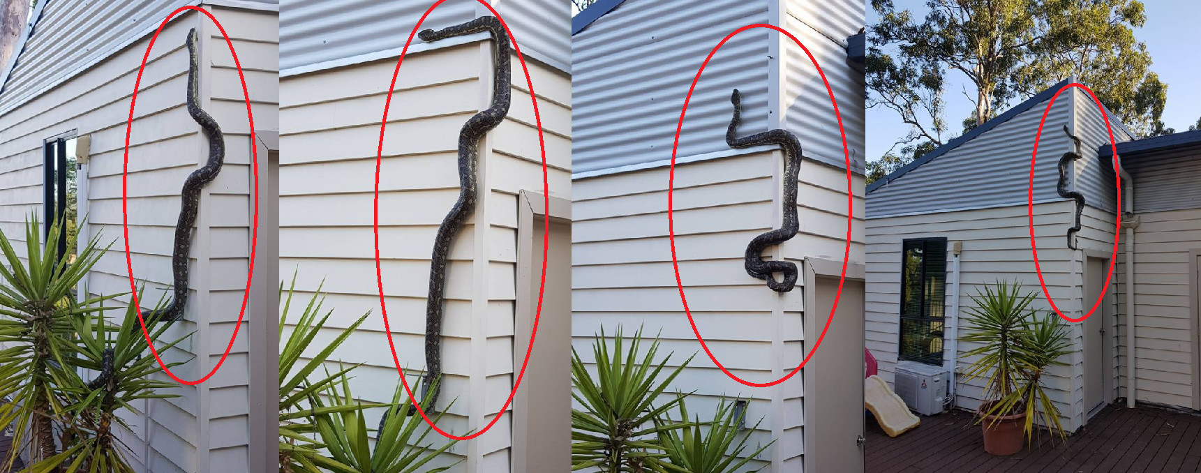 3m巨蟒会吊挂屋顶「打招呼」 澳洲男乐跟它同居6个月!