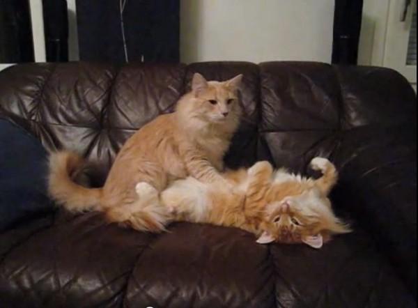 关於猫咪帮同类或其他动物按摩,专家认为很可能是尚未脱离「幼猫模