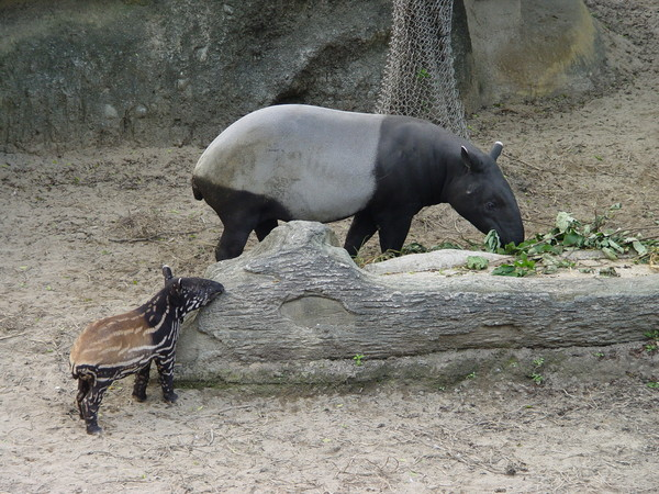 马来貘「貘莉」和妈妈.(图/台北市立动物园)