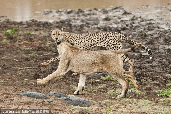 这张照片之所以罕见,在於狮子与猎豹天生就是世仇,更何况猎豹是「动物