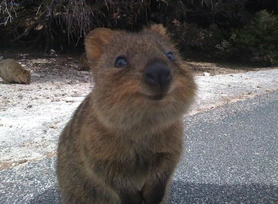 短尾矮袋鼠被网友封为「世界上最快乐」动物.(图/取自www.ryot.