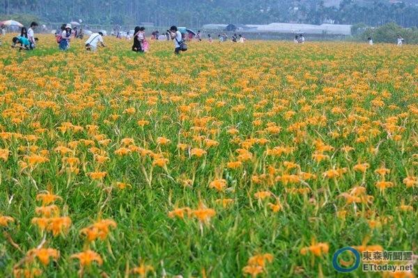 金黄色的花田,与政府推广的「丝瓜花黄金花海」有的比;兼具食用,生态