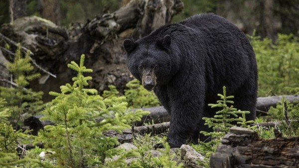 與黑熊生活28年!愛熊女士孤獨慘死森林 屍體被熊群拖回去保護