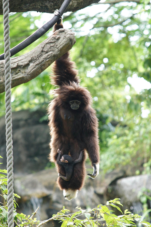 白手长臂猿.(图/台北市立动物园)