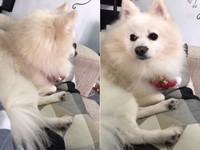 ▲狐狸犬聽?#20581;?#37324;長」秒轉頭。(圖/網友Nikky Hsaio授權提供」)