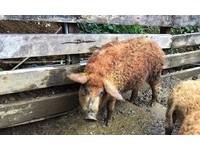 ▲羊毛出在豬身上?!真心不騙 金山直擊匈牙利國寶「綿羊豬」。(圖/記者郭世賢攝)