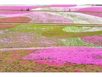 ▲日本紫藤花瀑布、芝櫻花毯▼             。(圖/ shutterstock.com、汎佳旅行社提供)