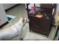 ▲飛盤掉到神桌上,狗狗不敢撿。(圖/網友李均偉授權提供)